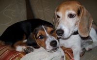 Two beagles