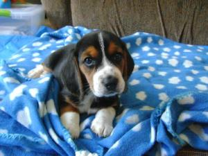 Wilma, a Beagle puppy