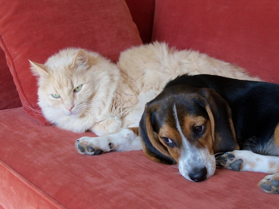 Beagle puppy snuggling up to a furry cat