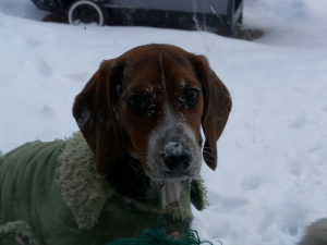 Wilma beagle puppy in snow