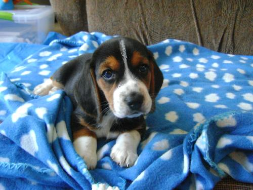 Beagle puppy 6 weeks old