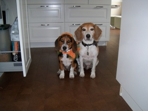 two beagles dressed for halloween